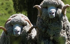 New Zealand Merino Wool